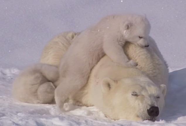 דובי קטן מטפס על אמא